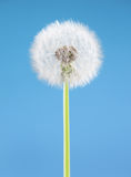Dandelion flower on blue background. One object isolated. Spring concept. Royalty Free Stock Photo