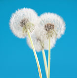 Dandelion flower on blue color background, many closeup object Royalty Free Stock Photo