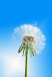 Dandelion flower on blue sky Stock Photography