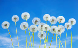 Dandelion flower on blue sky background. Bright clouds, beautiful landscape in summer season. Royalty Free Stock Image
