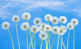 Dandelion flower on blue sky background. Bright clouds, beautiful landscape in summer season. Royalty Free Stock Photos