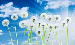 Dandelion flower on blue sky background. Bright clouds, beautiful landscape in summer season. Stock Photo