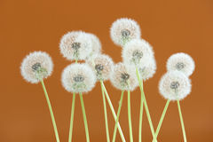 Dandelion flower on brown color background, group objects on blank space backdrop, nature and spring season concept. Royalty Free Stock Photos