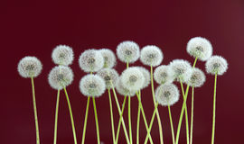 Dandelion flower on brown color background, many closeup object Royalty Free Stock Photos