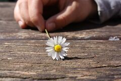 Dandelion Flower on Brown Wooden Table Royalty Free Stock Photos