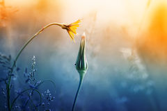 Dandelion flower and a Bud at sunset stock photos