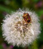 Dandelion flower after the rasin with visitor bug royalty free stock photo