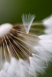 Dandelion flower close-up Stock Image