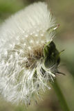 Dandelion flower close up Royalty Free Stock Images