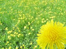 A dandelion flower close-up against a background of blurry dandelions. Royalty Free Stock Photo