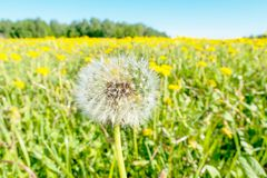 Bright flowers of a yellow dandelion in a field. Stock Image