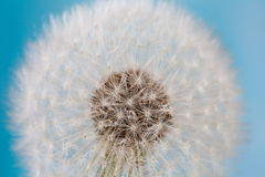 Dandelion flower close-up. Blue sky background Royalty Free Stock Photo