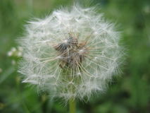 Dandelion flower. Dandelion close-up on a green background Stock Photography