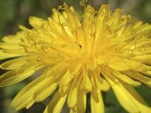 Dandelion flower Stock Image