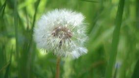 Dandelion flower close up on natural background. Dandelion flower on summer or spring meadow Taraxacum officinale stock footage