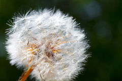 Dandelion flower. Close-up Stock Photo