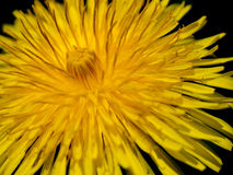Close Up view of a Full Bloom Dandelion Flower Royalty Free Stock Photos