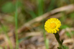 Dandelion flower close up Royalty Free Stock Photo