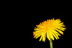Dandelion flower close up. Yellow dandelion flower close-up isolated on black background stock photography