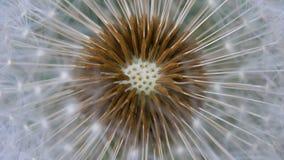 Dandelion Flower Closeup, Big Dandelion. Fluffy dandelion seeds close up stock footage