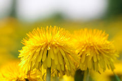 Dandelion flower closeup. Dandelion flower close up on a Sunny meadow with blurred background stock images