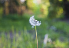 Dandelion flower closeup. With seed in nature Stock Image