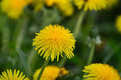 Dandelion flower closeup Royalty Free Stock Photography