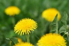 Dandelion flower closeup, shallw dof. Dandelion flower closeup, shallow dof Taraxacum officinale Royalty Free Stock Images