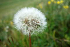 A dandelion flower Stock Images