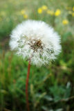 A dandelion flower Royalty Free Stock Photos