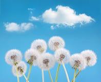 Dandelion flower on cloud sky background, spring landscape concept Stock Images