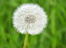 A dandelion flower composed of numerous seed head. A dandelion turned to seed over grass background Royalty Free Stock Photo