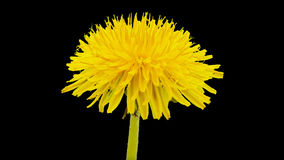 Dandelion flower cut out timelapse stock video footage