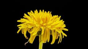 Dandelion flower cut out timelapse stock footage