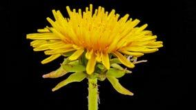 Dandelion flower cut out timelapse stock video
