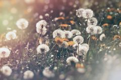 Dandelion flower and dandelion seed fluffy blow ball. Selective and soft focus on dandelion seeds Stock Images