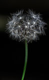 Dandelion. The dandelion flower on the dark background Royalty Free Stock Photo