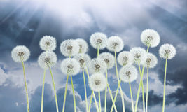 Dandelion flower on dark blue sky background. Bright clouds, beautiful landscape in summer season. Stock Images