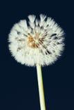 Dandelion flower in darkness Stock Photos