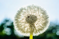 Dandelion flower with dew drops against the sun. Macro Royalty Free Stock Photo