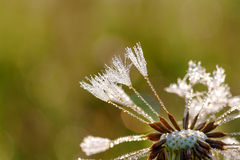 Dandelion flower with dew drops Stock Photos