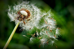 Dandelion flower with fallen seeds. In natural environment Stock Image