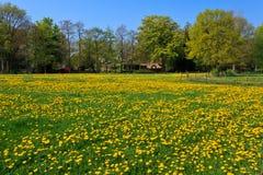 Dandelion flower  field in bloom Royalty Free Stock Photos