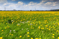 Dandelion flower  field in bloom Stock Image
