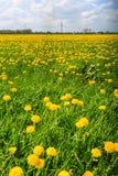 Dandelion flower  field in bloom Stock Image