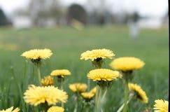 Dandelion Flower Field Depth of Field stock photo