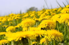 Dandelion flower field in France Stock Photography