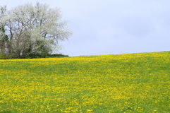 Dandelion flower field in France Royalty Free Stock Images