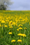 Dandelion flower field in France Stock Image