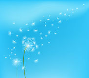 Dandelion flower field over blue sky.  Stock Photography